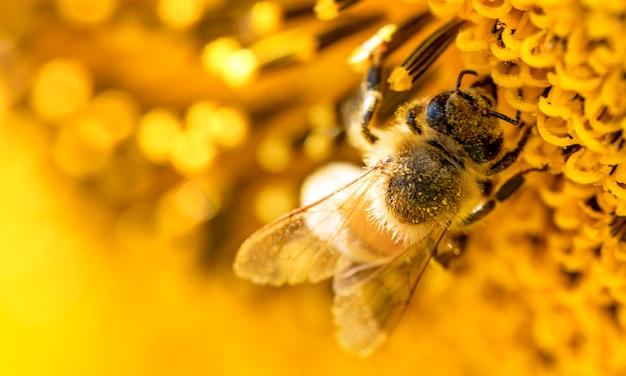 Медоносная пчела собирает нектар с цветков подсолнечника. Premium Фотографии