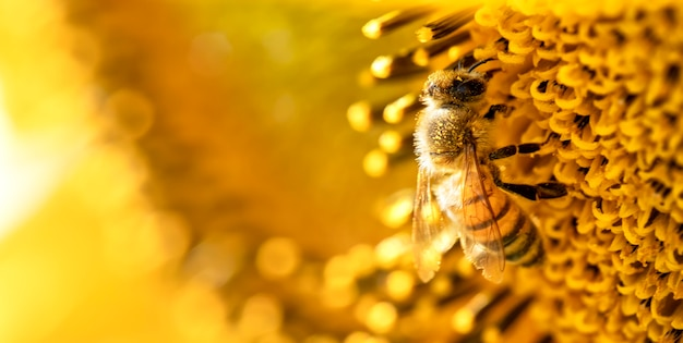 Медоносная пчела собирает нектар с цветков подсолнечника.