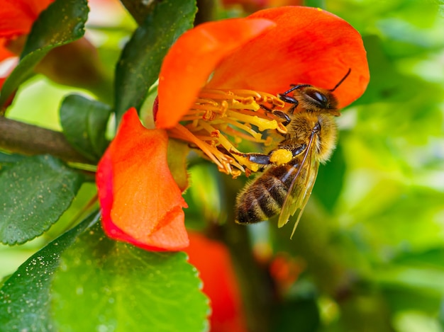Honey bee collects pollen and nectar from red quince flowers in spring