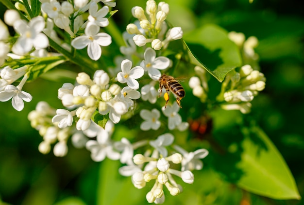 Honey bee collects pollen on a white lilac flower.