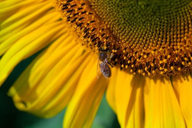 ヒマワリの蜜を集める黄色い花粉で覆われたミツバチ。夏の太陽の花に座っている動物は、重要な環境生態学の持続可能性のために収集します。自然の気候変動への意識