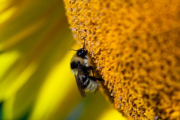 ひまわりに座ってひまわりの蜜を集める黄色い花粉で覆われたミツバチ