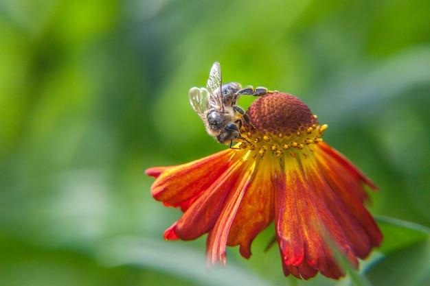 Медоносная пчела, покрытая желтой пыльцой, пьет нектар, опыляя оранжевый цветок. вдохновляющие естественные цветочные весной или летом цветущий сад или парк фон.