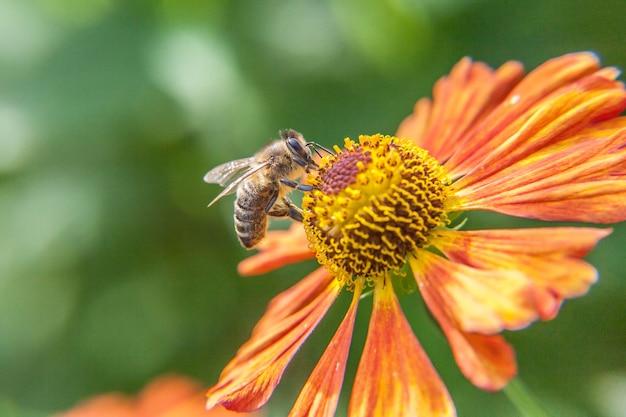 꿀 꿀벌은 오렌지 꽃을 pollinating 노란색 꽃가루 음료 꿀로 덮여 있습니다. 영감을주는 천연 꽃 봄 또는 여름 개화 정원 또는 공원 배경.