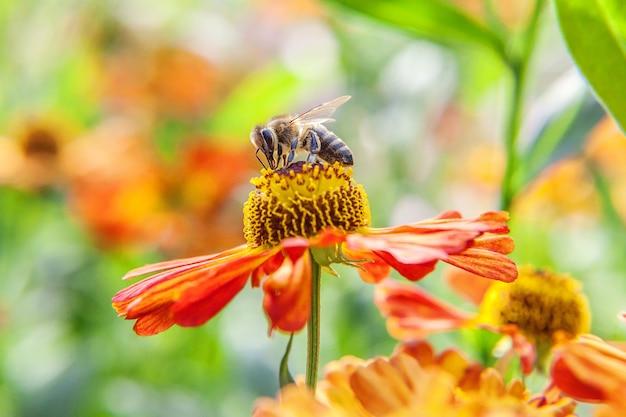 Медоносная пчела, покрытая желтой пыльцой, пьет нектар, опыляя оранжевый цветок. вдохновенный естественный цветочный весенний или летний цветущий сад или парк. жизнь насекомых. макро крупным планом.