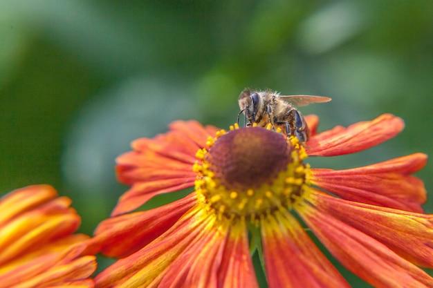 Медоносная пчела, покрытая желтой пыльцой, пьет нектар, опыляя оранжевый цветок. жизнь насекомых