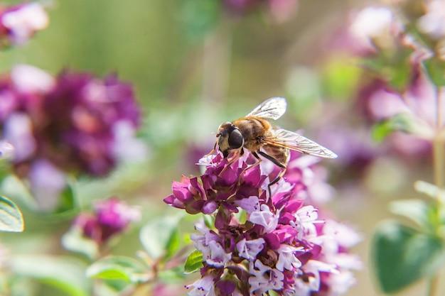 ミツバチはピンクの花を受粉させる黄色の花粉ドリンクの蜜で覆われています。インスピレーションを与える自然の花の春または夏の咲く庭または公園の壁。昆虫の生活。マクロをクローズアップ。