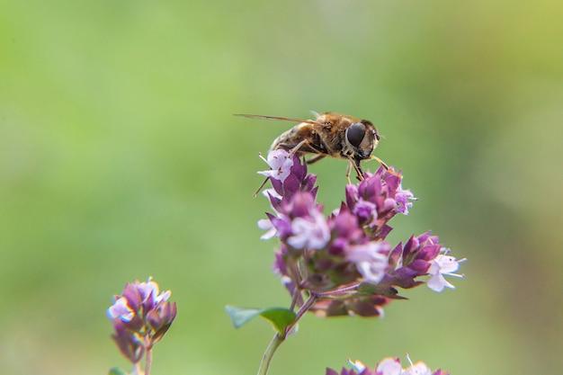 Медоносная пчела, покрытая желтой пыльцой, пьет нектар, опыляя розовый цветок. жизнь насекомых
