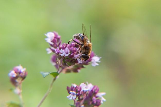 Медоносная пчела, покрытая желтой пыльцой, пьет нектар, опыляя розовый цветок