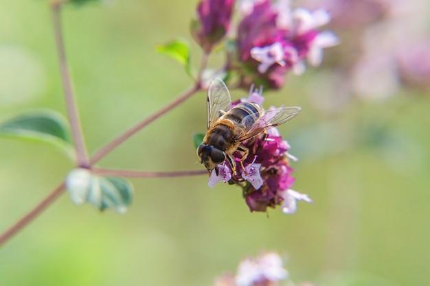 Медоносная пчела, покрытая желтой пыльцой, пьет нектар, опыляет розовый цветок