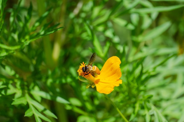 Honey bee eating flower nectar from pollen of blooming yellow cosmos in green garden, nature background
