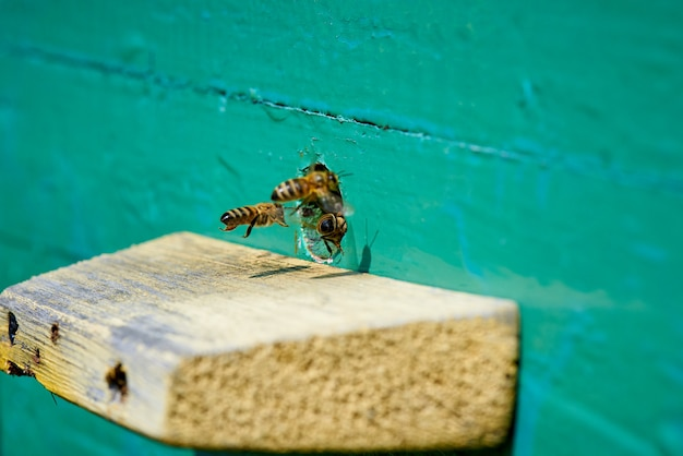 Honey bee in the entrance to a wooden beehive.