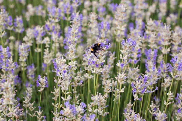 여름 라벤더 밭에 보라색 라벤더 꽃에 꿀 꿀벌