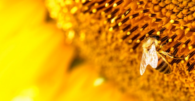 Медоносная пчела на цветке подсолнечника, крупный план. выборочный фокус.