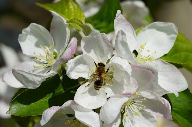 Медоносная пчела на белом цветке