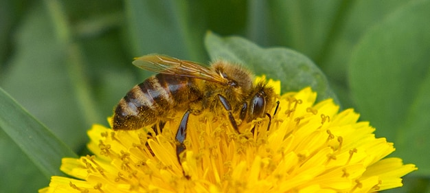 タンポポのミツバチ。春の牧草地に受粉するミツバチ。
