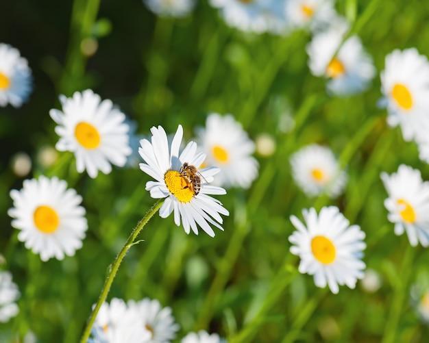 Медоносная пчела на белых цветках ромашки.