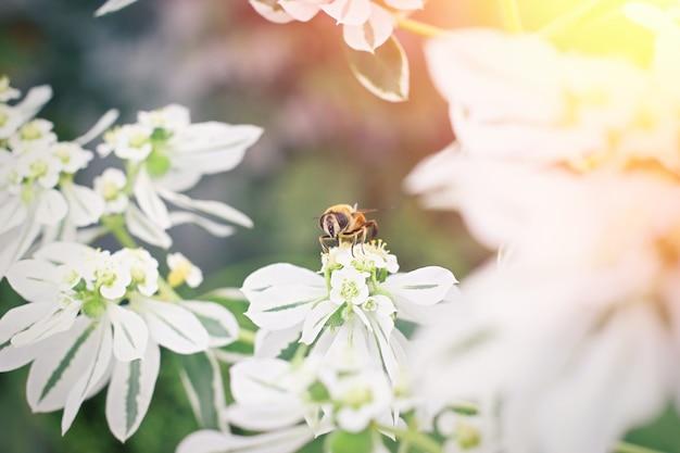 흰 꽃에 꿀벌입니다. 봄철 개념