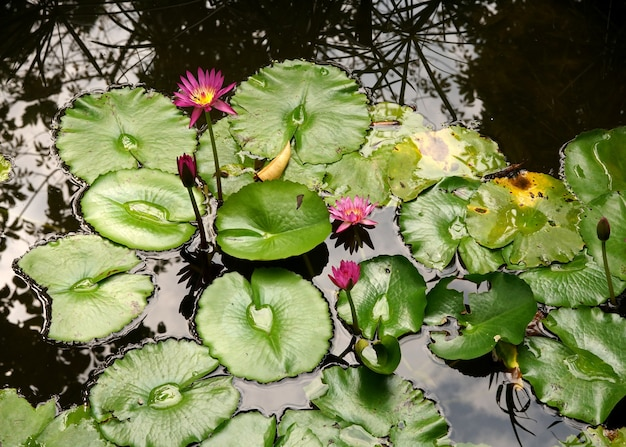 池に緑の葉を持つ紫色の睡蓮または蓮の花のミツバチ受粉