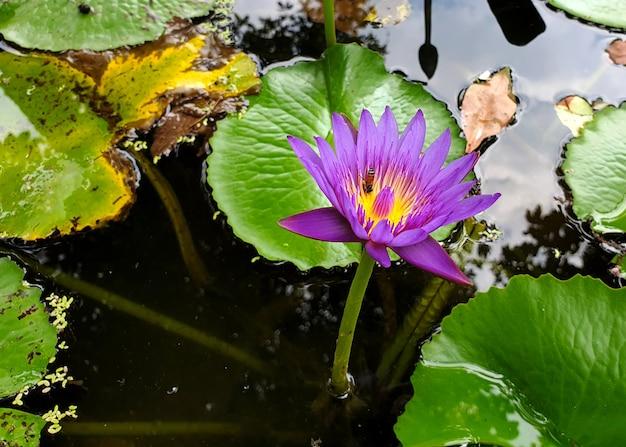 연못에 녹색 잎이 있는 보라색 수련이나 연꽃의 수분을 하는 꿀벌