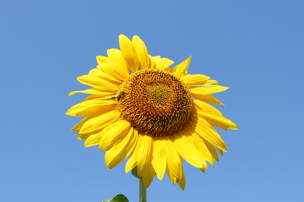 Honey bee pollinating sunflower. bee produces honey on a flower