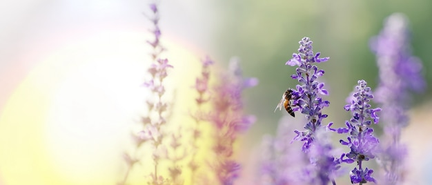 Honey bee pollinating working on purple - blue flowers of blue salvia or mealy sage the ornamental flower