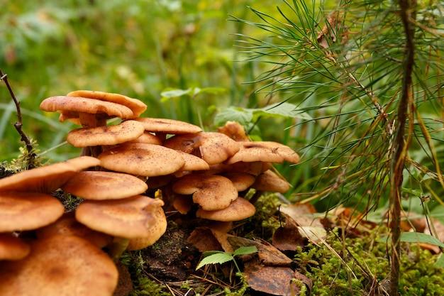 꿀 버섯은 숲의 이끼에서 자랍니다.