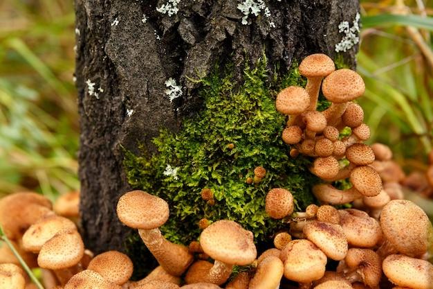 Опята растут на дереве в лесу крупным планом