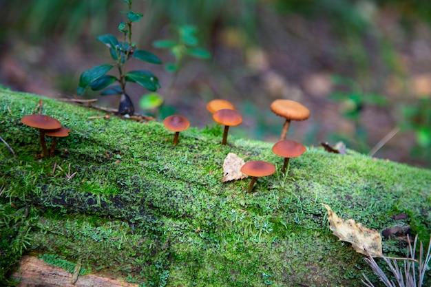 Опята, растущие на пне в осеннем лесу