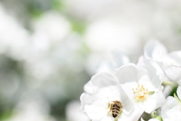 Пчелы и белые цветы яблони