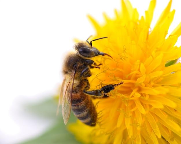 꿀벌과 노란 꽃 머리는 흰색 배경에 고립