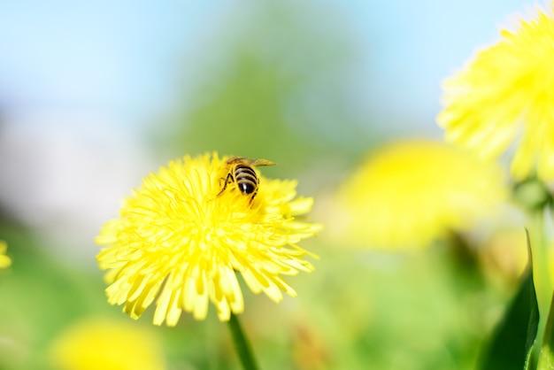 푸른 잔디 배경에 꿀벌과 노란색 꽃입니다.