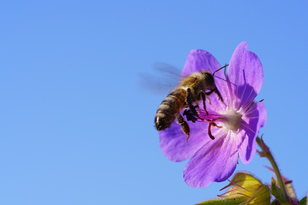紫の野草から花粉を集めるミツバチ