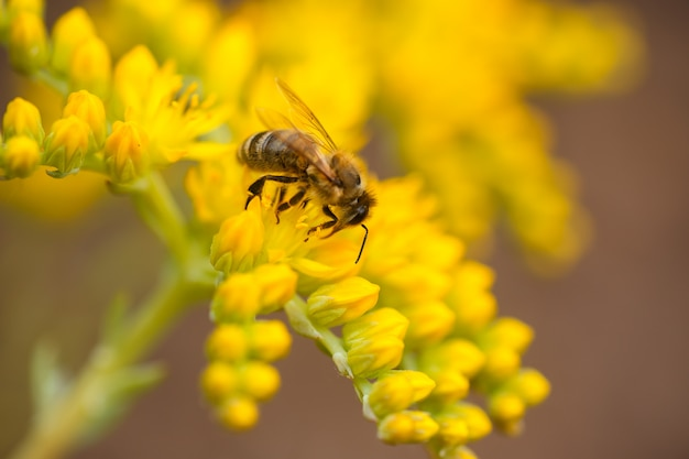 Honeybee collects nectar and pollen from yellow flowers sedum acre