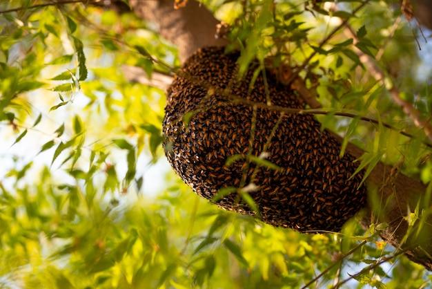 ミツバチの群れが木にぶら下がっていて、ミツバチの群れが木を囲む新しい巣を作っています。