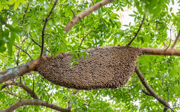 Honeycomb clinging on branch of mahogany in nature.