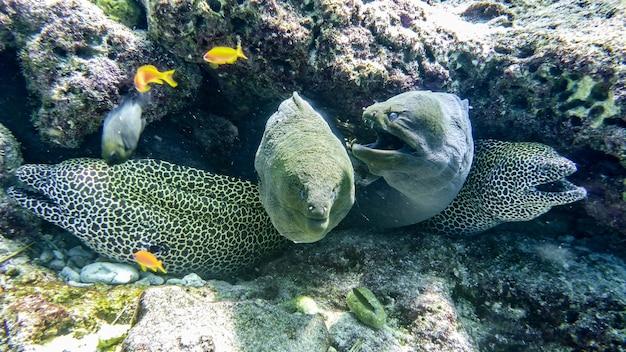 Honeycomb and giant moray eels, maldives.