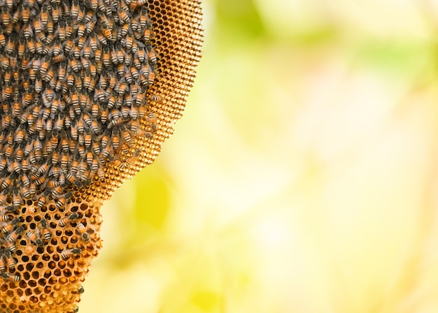 Honeycomb on tree and swarm honey bee on comb beehive on the nature