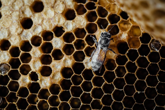 Honeycomb with bee background