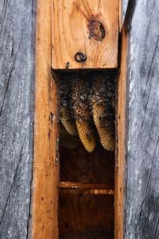 ひなフレームのない伝統的な丸太の巣箱の中の自然な形のハニカム