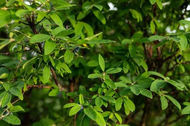 Honeysuckle berries on a branch in the garden. honeysuckle near
