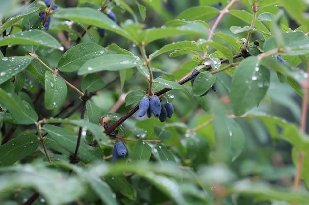 Honeysuckle berry hanging on the tree