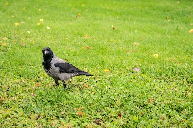 Hooded crow, corvus cornix on a background of green grass with yellow leaves