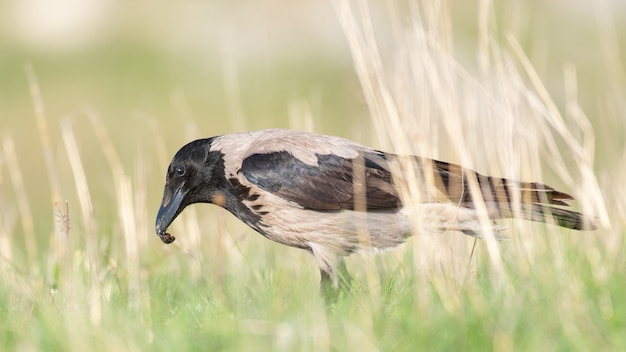 Серая ворона стоит в траве с насекомым в клюве