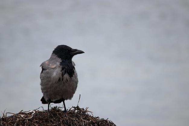 Серая ворона стоит на водорослях