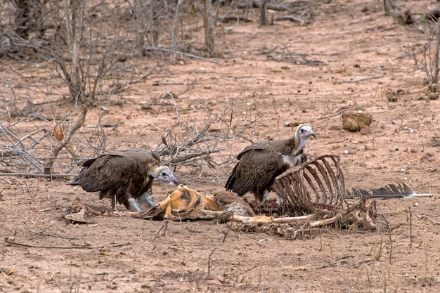 Hooded vultures eating an impala