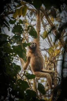 インドの森の木の野生のインドの猿の高いフーロックテナガザル