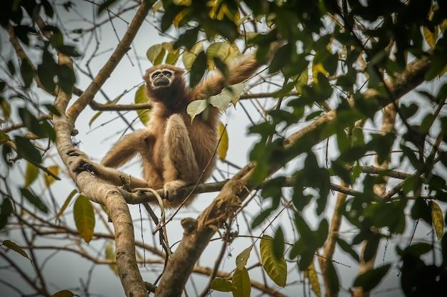 훌록 긴팔원숭이 높은 나무 위의 인도 숲의 야생 인도 원숭이