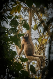 Hoolock gibbon high on a tree wild indian monkey in the indian forest
