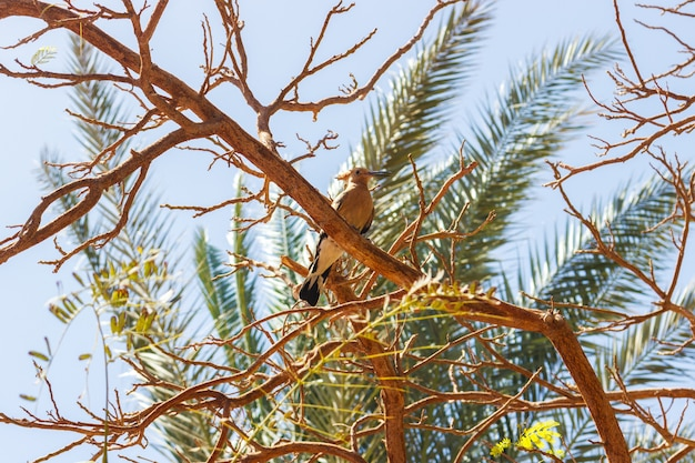 Hoopoe bird, perched on a tree branch in egypt